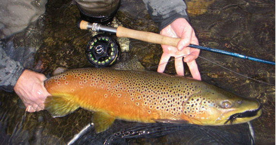 Big Brown Trout caught on streamer fly